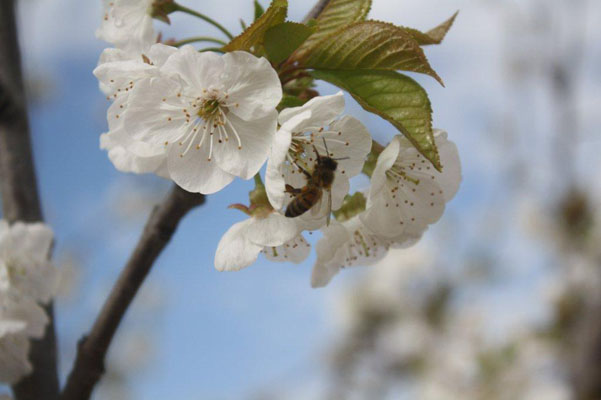 bee-in-cherry-blossom