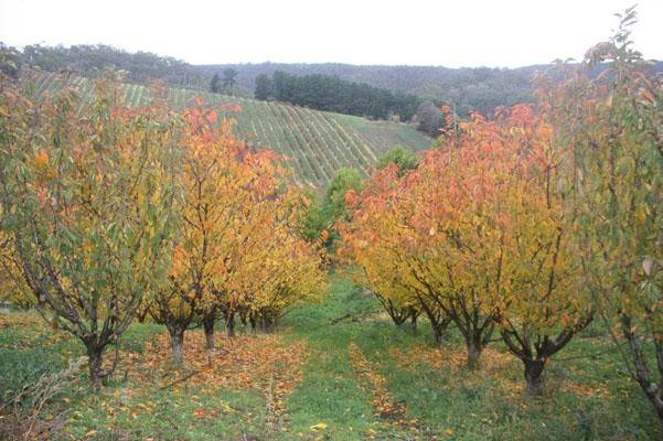 cherry-trees-in-autumn