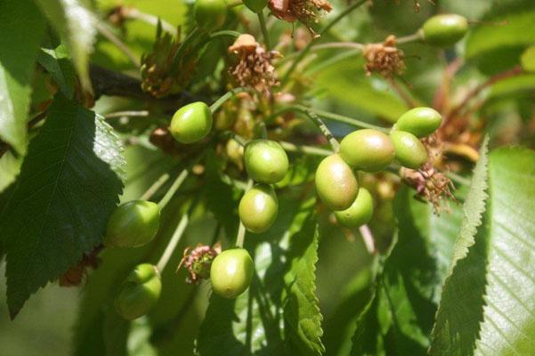 immature-cherries