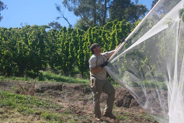 netting-cherry-trees