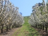 cherry-trees-inspring